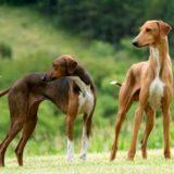 Азавак: порода собак