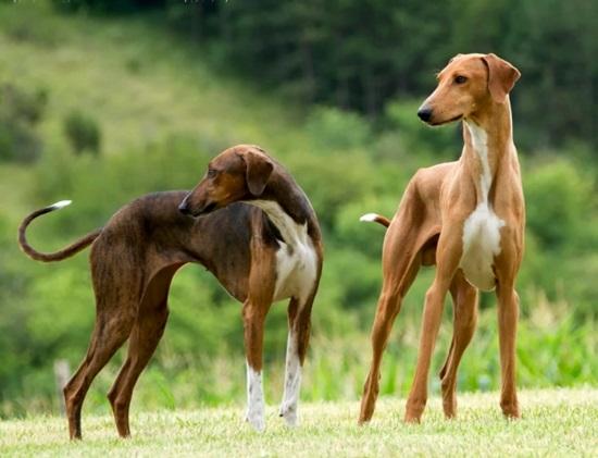 Азавак порода собак фото