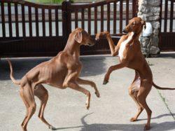фотография Азавак порода собак