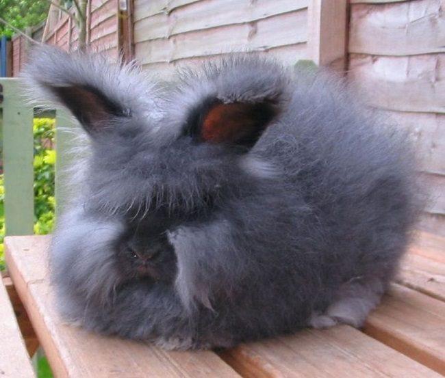 ангорский кролик декоративный фото