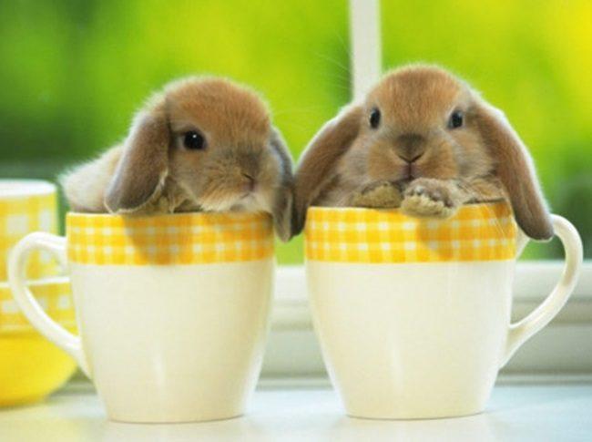 декоративные кролики живут