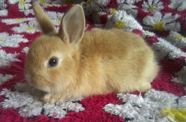 домашние кролики декоративные