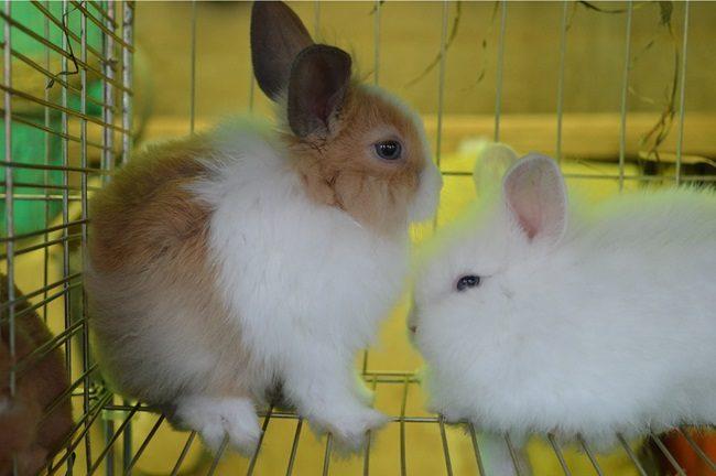 кролик декоративный уход содержание