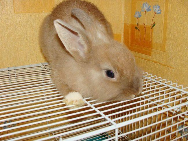 кролик декоративный в домашних условиях