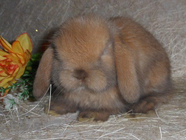 кролик домашний декоративный