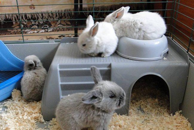 виды декоративных кроликов с фото