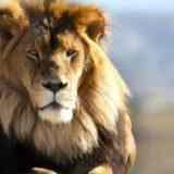 Почему у льва есть грива, а у львицы – нет
